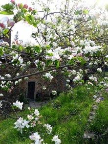 Meli in fiore alle Stinche