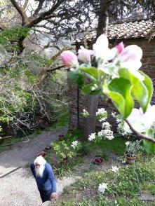 Meli in fiore alle Stinche, sotto Eliseo Grassi OSM